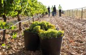 Publicadas ayudas para reconversión de viñedos