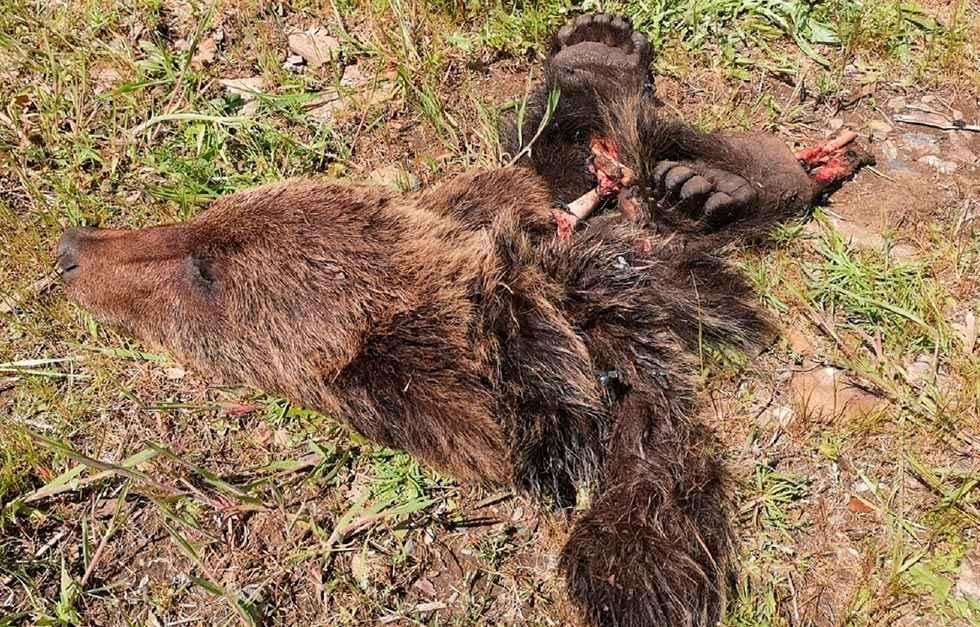 Aparecen restos de ejemplar joven de oso pardo