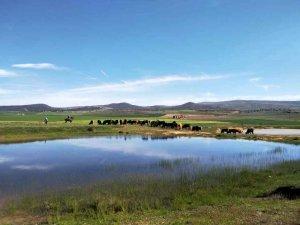 Noviercas: traslado de ganado - fotos