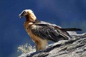 Piden proteger nidificación de quebrantahuesos en Moncayo