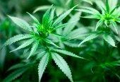 UGT urge autorización de cannabis a Ondara
