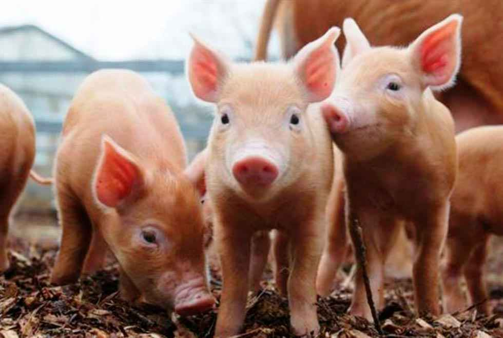 El sector porcino, implantado en el 35 por ciento de municipios rurales