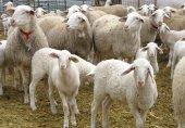 Los musulmanes celebran la fiesta del sacrificio del cordero