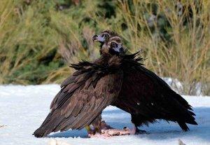 Nacen buitres negros en la Sierra de la Demanda