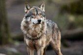Prohibido cazar lobos en toda España