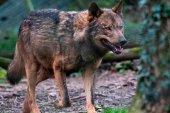 La Estrategia del lobo pone el foco en la coexistencia